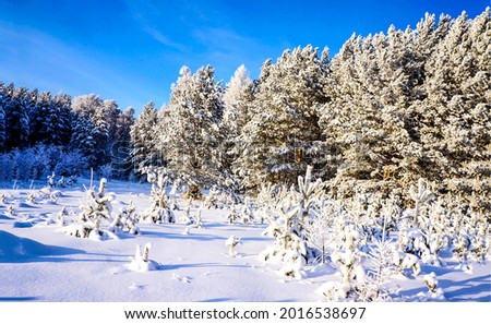 Winter snow forest on a clear day. Winter snow scene. Winter forest snow