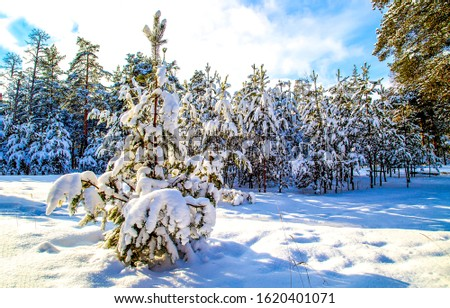 Winter snow forest scene. Snowy winter forest scene. Winter snow scene. Winter in forest