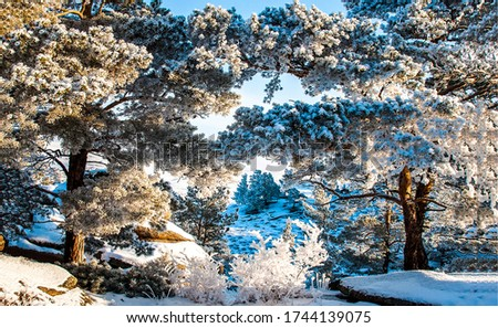 Winter snow forest trees view. Snow covered winter forest trees