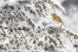 Winter, snow, tree and cute little bird. White winter and nature background. Bird: European Robin. Erithacus rubecula.