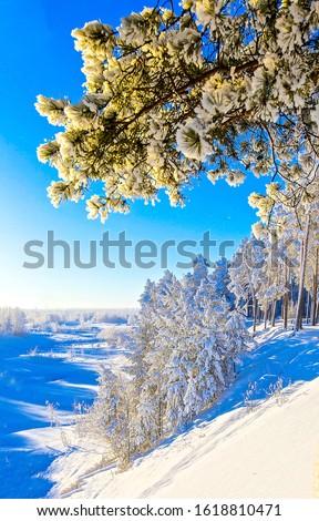 Winter snow tree branch view. Winter snow scene. Winter forest vertical view. Winter snow tree bracnhes
