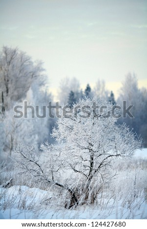 Winter snowy forest, branches covered with snow