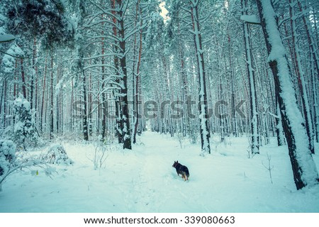 Winter snowy forest, dog walking in the forest