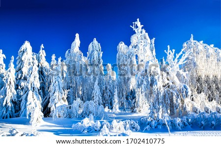 Winter snowy forest trees background. Winter snow forest. Snow covered winter fir trees