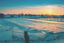 Winter snowy scenery. Arable field covered with snow at sunset. Dog gazing sunset