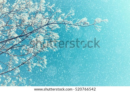 Winter snowy tree branches against colorful sunny sky during the snowfall with free space for text. Closeup of snowy tree branches under falling snow