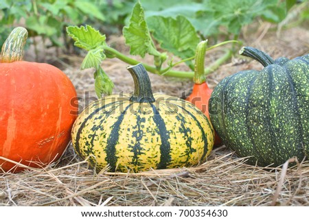 Winter squashes and pumpkins harvested and collected in the garden #700354630