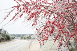 Winter storm in Austin Texas. A tree with red berries is covered with ice. Freezing rain. Red berries on the white background. Winter scene. Tree by the road