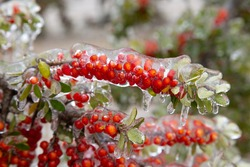 Winter storm in Austin Texas. A tree with red berries is covered with ice. Freezing rain. Red berries on the green background. Winter scene. Natural disaster