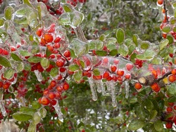 Winter storm in Austin Texas. A tree with red berries is covered with ice. Freezing rain. Red berries on the green background. Winter scene. Anomaly weather. Natural disaster