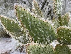 Winter storm in Austin Texas. Cactus in ice. Freezing rain. Winter scene. Natural disaster