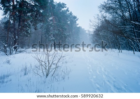 Winter storm. The picture was taken in the beautiful and snowy forest. It was a very cold snowy morning. In the forest was a blizzard and trees covered with snow.