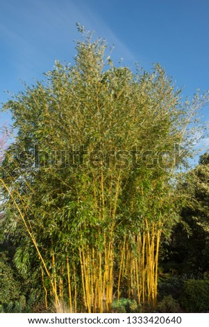Winter Sun on Showy Yellow Groove Bamboo (Phyllostachys aureosulcata f. spectabilis) in a Country Cottage Garden in Rural Devon, England, UK
