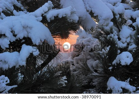 Winter sunset in forest. A photo of the sun through branches of a fur-tree