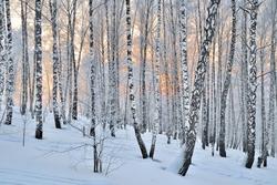 Winter Sunset in the birchwood. Pink sunlight among white trunks of birch trees