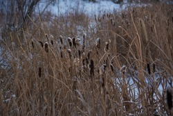 Winter swamp marsh frozen in the snow at sunset