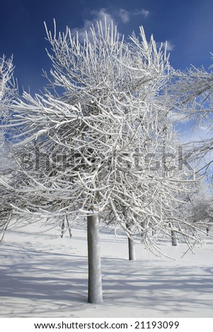 Winter theme - ice and snow covered trees on a clear winter day, blue sky, outdoors in a park