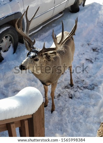 winter time perseverance for Tom the Buck (always makes it to get his daily food ration regardless of weather conditions)