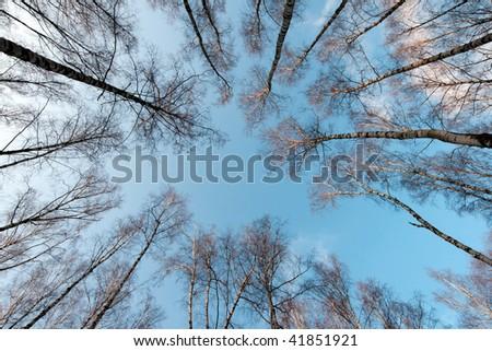 winter tree crowns on deep blue sky