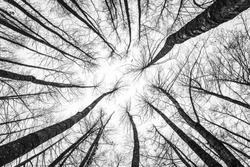 Winter tree tops viewed looking up. Black and white image of leafless trees. Treetops pattern. Bottom view trees. Forest abstract background.
