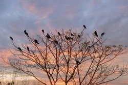 Winter tropical treescape with Indian house crows. Beautiful flat crown of a bare tree. In the background, clouds are highlighted by the setting sun, a tropical sunset. Sri Lanka nature