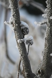 winter, very cold, lots of white snow, trees covered with frost