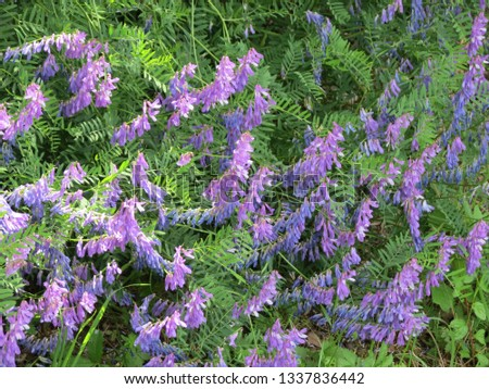 Winter vetch or hairy vetch (vicia villosa): lots of purple flowers closeup #1337836442
