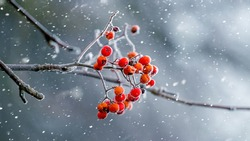 Winter view with red rowan berries during snowfall