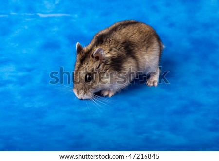 ... Dwarf Hamster in studio against a blue background. - stock photo