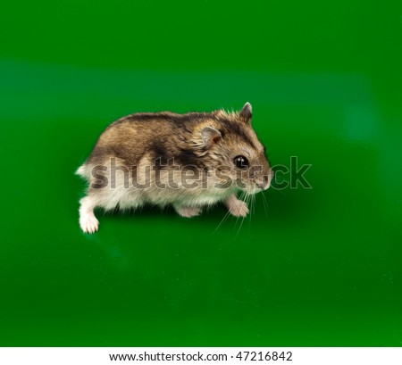 ... Dwarf Hamster in studio against a green background. - stock photo