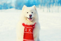 Winter white Samoyed dog in red scarf on snow