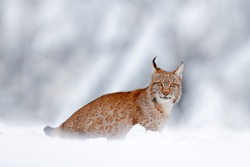 Winter wildlife in Europe. Lynx in the snow, snowy forest in December. Wildlife scene from nature, Germany.