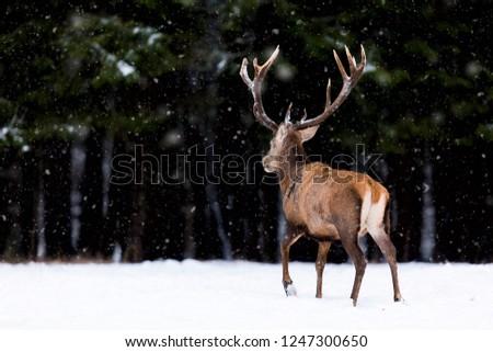 Winter wildlife landscape. Noble deer Cervus Elaphus. Back of deer in winter forest. Deer with large horns with snow