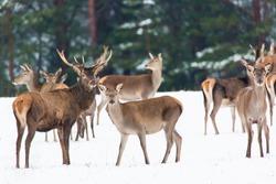 Winter wildlife landscape with noble deers Cervus Elaphus. Many deers in winter. Natural habitat.
