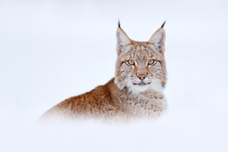 winter wildlife. Lynx in cold condition. Snowy forest with beautiful animal wild cat, Austria. Eurasian Lynx running, wild cat in the forest with snow. Wildlife scene from winter nature.