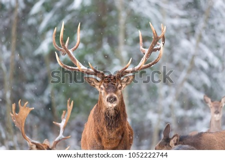Winter wildlife portrait with noble deer Cervus Elaphus. Deer with large Horns with snow on the foreground. Winter or Christmas seasonal image #1052222744