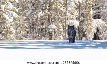 Winter wolf awesome