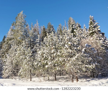 Winter wonderland scene in a WA national forest in Cascade Mountains. Sky cleared after freshly fallen snow that covers ground & isolated, stunning group of evergreen trees that fill most of frame. #1282223230