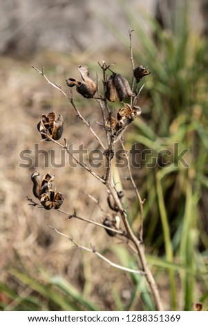 winter yucca plant with empty seed pods in a wisconsin park