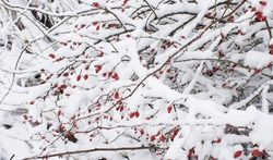 Winterberry tree mid winter, with snow covered branches and red berries