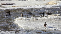 Wintering birds on ice floe - migratory wild ducks on the ice water on a freezing river
