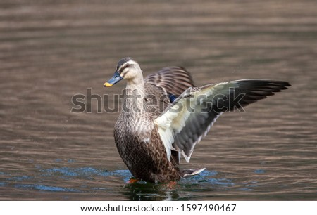 Wintering Eastern Spot-billed Duck (Anas zonorhyncha), also known as Chinese Spot-billed Duck, swimming in a lake in Japan. Flapping its wings.