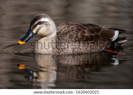 Wintering Eastern Spot-billed Duck (Anas zonorhyncha), also known as Chinese Spot-billed Duck, swimming in a lake in Japan.
