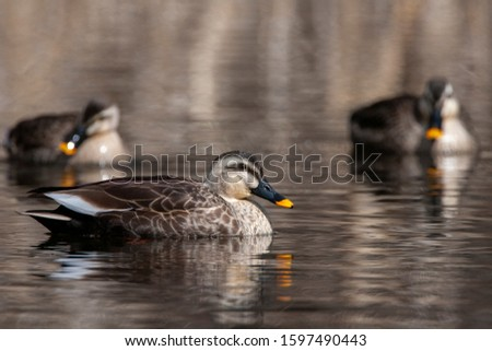 Wintering Eastern Spot-billed Duck (Anas zonorhyncha), also known as Chinese Spot-billed Duck, on a lake in Japan. Two ducks swimming in background.