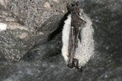 Wintering Whiskered Bat sleeping upside down in dak cave. Covered in dew