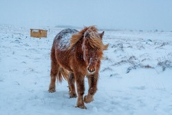 Wintertime on Iceland, fluffy icelandic horses in snow