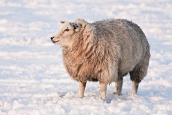 Wintertime: sheep in snowy meadow in the Netherlands