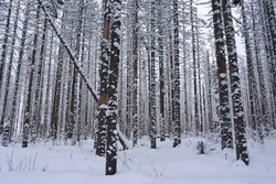 Wintery forest in Tatra Mountains in winter