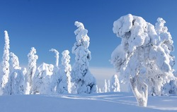 Wintry landscape with snow covered trees and snowy forest. Finnish Lapland, Finland, Northern Europe