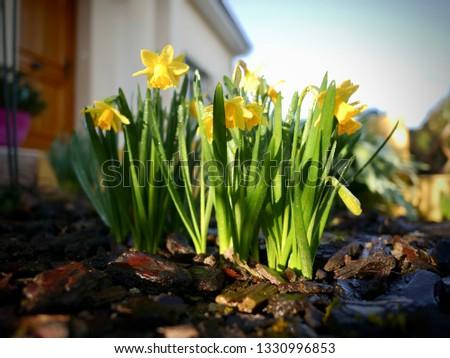 Wiosenne kwiaty żółty kolor, żonkile w ogrodzie o poranku - image Zdjęcia stock ©